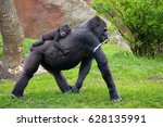 the western lowland gorilla is... | Shutterstock . vector #628135991