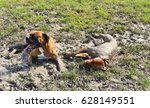 Small photo of Muddy Buddies - Two Dogs Rolling Around in a Mud Puddle - Bath Time