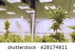 flowering marijuana stalk... | Shutterstock . vector #628174811