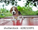 Stock photo cute tricolor beagle puppy around month old standing 628213391