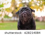 funny face of pug dog with... | Shutterstock . vector #628214084