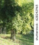 bamboo tree in the garden. hot... | Shutterstock . vector #628242965