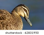 portrait of a pacific black... | Shutterstock . vector #62831950