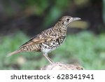 scaly thrush bird | Shutterstock . vector #628341941