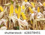 agricultural field with corn | Shutterstock . vector #628378451