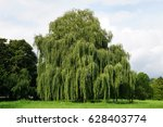 weeping willow tree also known as Babylon willow or salix babylonica