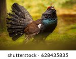 capercaillie male in the nature ... | Shutterstock . vector #628435835