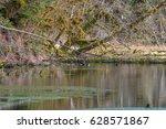 beautiful ducks swim in a pond. ...   Shutterstock . vector #628571867