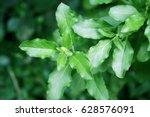 amount of basil leaves... | Shutterstock . vector #628576091