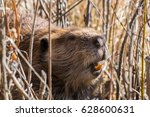 close photo of a beaver showing ... | Shutterstock . vector #628600631