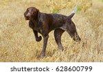 portrait of german shorthaired... | Shutterstock . vector #628600799
