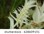 Small photo of An extremely rare albinotic mutation of the Broad-leaved Helleborine, the European orchid species inhabiting wet grasslands. A close up horizontal picture of the extraordinary white plant.