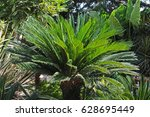 japanese sago palm cycas... | Shutterstock . vector #628695449