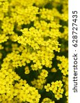 Small photo of Alyssum saxatile many yellow flowers vertical