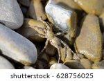 Small photo of Arctosa littoralis III
