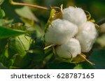 mature cotton | Shutterstock . vector #628787165