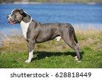 blue staffordshire terrier for...   Shutterstock . vector #628818449