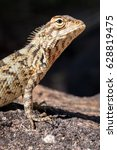 Small photo of Agamid lizard. Agamidae. Asian lizard. Close up shot taken with professional macro lens. Deep details. Location: Sri Lanka