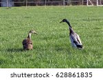 A Run Duck's Pair On A Meadow