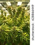 weed cannabis marijuana plants... | Shutterstock . vector #628866449