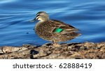 a pacific black duck  anas... | Shutterstock . vector #62888419