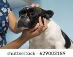 Stock photo veterinarian performing acupuncture on pets 629003189