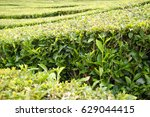 tea plantation  tea bushes | Shutterstock . vector #629044415