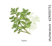 thyme. color medical herbs and... | Shutterstock .eps vector #629050751
