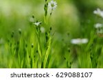 addersmeat   white flowers on a ... | Shutterstock . vector #629088107
