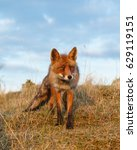 Red Fox In Beautiful Evening...