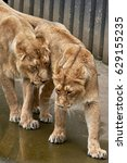 Small photo of Two affectionate lionesses