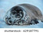 seal   ringed seal  pusa... | Shutterstock . vector #629187791