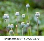 green poppy  papaver  seed pods ... | Shutterstock . vector #629239379
