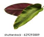 calathea ornata  pin stripe... | Shutterstock . vector #629293889