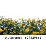 Marigold Yellow Flower ...