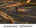 Common Frog At Breeding Season...