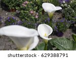 Small photo of Calle lily at flowers market - Zantedeschia aethiopica - Araceae - Alismatales