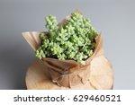 Sedum Morganianum Succulent...