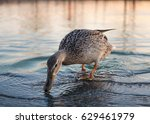 Brown Duck Drinking Water From...
