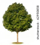 Small photo of Sugar Maple Tree (Acer saccharum) isolated