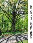 Linden Or Lime Tree  Tilia  An...