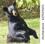 Small photo of Female American black bear sits up