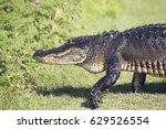 Large Alligator Walking In...