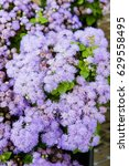 Small photo of Purple or blue flowers of the ageratum plant
