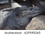 Grey Iguana In Zoo