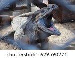 Dark Grey Iguana In Zoo
