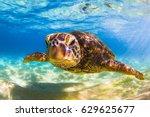 endangered hawaiian green sea... | Shutterstock . vector #629625677