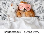 Stock photo cute funny red pomeranian female puppy lying on back in sleeping mask together with chihuahua male 629656997