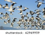 Flock Of Snow Geese  Chen...
