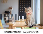 Stock photo portrait of cute scottish cat standing straight on the table and wear orange scraf at cat cafe 629840945